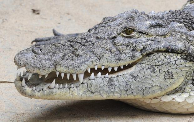 KINA - Krokodile fressen ohne zu kauen oder abzubeißen