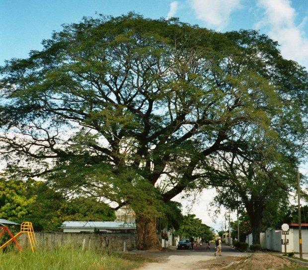 Arbol-de-Guanacaste